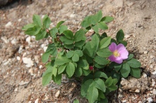 Wild Rose, Alberta, Canada