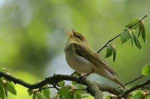 Song-bird